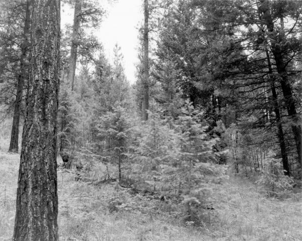 <strong>1997. 88 years later.</strong> This stand was not subject to management activities in 1992 and 1993. Note the rapid growth of the Douglas-fir trees in the foreground since 1989, masking the view of the slower growing ponderosa pines in the background. Undergrowth is primarily pinegrass and dogbane.