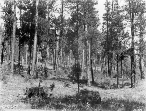 <strong>1927. 18 years later.</strong> Two willows in the 1909 scene have grown considerably and now contain many dead branches. Other willows have become established in midground, while young ponderosa pine can be seen in localized areas. The herbaceous ground cover persists. Taken later in the season, this view pictures basalmroot at a cured stage of growth. Note fire-scarred stump on the right.