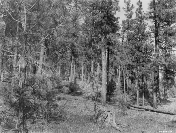 <strong>1938. 29 years later.</strong> Young pine growth is beginning to occupy localized sites in the understory. A tree on right has blown down, and the willow in the foreground that was present in 1909 has become senescent. In the foreground, the low shrub component is less evident, but this may be a seasonal difference.