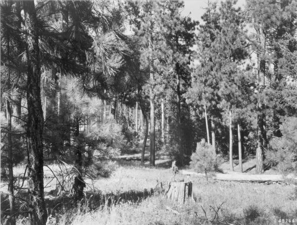 <strong>1948. 39 years later.</strong> Two mature pines have fallen to the ground. Growth of young pines are closing in portions of the understory. Young pine at right foreground is screening senescent willow. Herbaceous plants and snowberry in foreground have put on good growth.