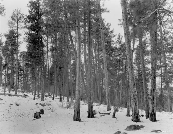 <strong>1925. 16 years later.</strong> Bitterbrush plants on left and willow in distance, more evident in the winter scene, have increased in size. Young conifers are beginning to fill the understory in the background.