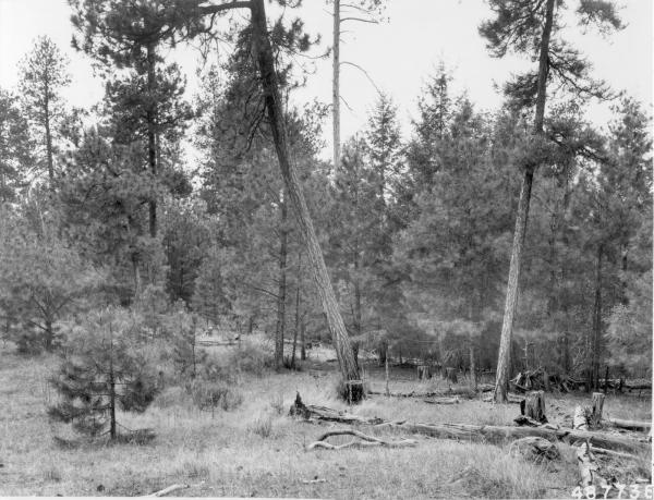 <strong>1958. 49 years later.</strong> Growth of young ponderosa pine and Douglas-fir dominate skyline, thereby obscuring view of the few remaining mature ponderosa pine in the distance. Competition by young pines in foreground has apparently caused several of the bitterbrush plants to deteriorate. Heavy ground fuels show considerable decomposition.