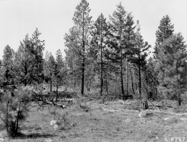 <strong>1968. 59 years later.</strong> Precommercial thinning and pruning in 1968 removed mature pines and opened up young pine stand. This benefitted some bitterbrush plants, but those in left foreground under and near leave trees show further deterioration. Slash has added to heavy fuels, while down material is more decomposed.