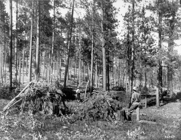 <strong>1909.</strong> Looking northeast through a more heavily stocked ponderosa pine stand. The ground cover around C. H. Gregory (in distance) and W. W. White is predominantly herbaceous species with a high incidence of basalmroot. The dark low-growing shrub around White appear to be snowberry. Large willows are evident on the left edge of the photo and in front of White.