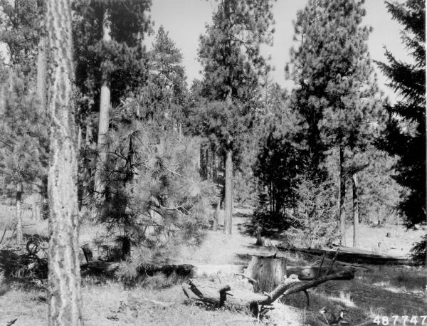<strong>1958. 49 years later.</strong> A shelterwood cut in 1952 removed several of the merchantable trees and left slash on the ground. Plants occupying sites near left edge of photo appear to be betterbrush.