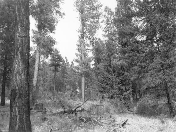 <strong>1979. 70 years later.</strong> Rapid establishment and growth of new conifers has screened the open view of 1968. Growing conditions for bitterbrush and willow have deteriorated because of competition for sunlight and moisture. Partial cutting and thinning in 1952, 1955, 1962, and 1966 have allowed more conifer regeneration than the early, light 1906-9 cut.
