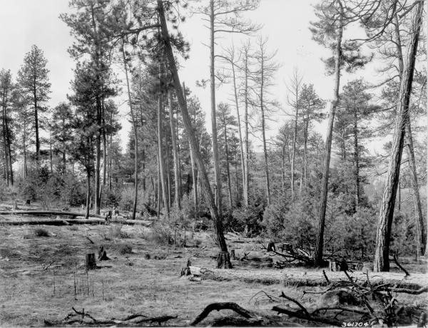 <strong>1938. 29 years later.</strong> Several pines have been cut, some have died, and others have fallen to the ground. Ponderosa pine and Douglas-fir regeneration is profuse, while the willow in the distance is larger. Bitterbrush has increased, but regeneration appears minimal. Slash and windfall have resulted in an increase in heavy fuels. Mullein can be seen foreground for the first time.
