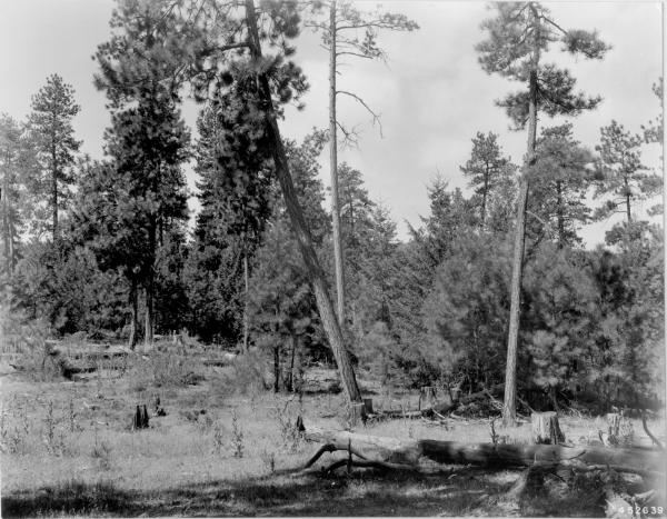 <strong>1948. 39 years later.</strong> Open view is screened by growth of young conifers. Bitterbrush plants have continued to grow, but are beginning to receive competition from conifers for space. Willow in distance has been overtopped by conifers. Dead trees have toppled, adding to fuel load. Slash in foreground has decomposed somewhat, while basalmroot is not evident and mullein has increased.