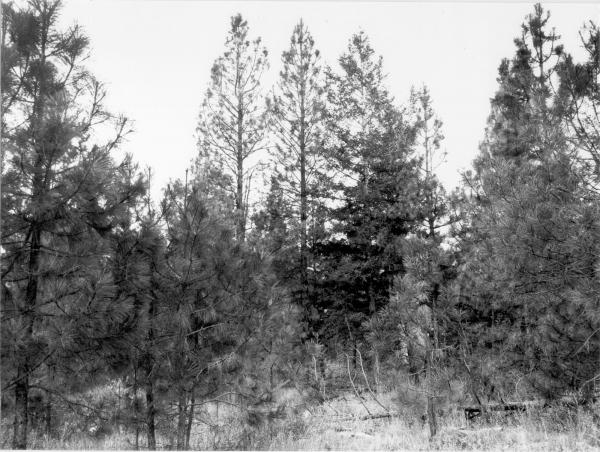 <strong>1979. 70 years later.</strong> Understory is dominated by increased pine growth that is shading out bitterbrush. Past disturbance has allowed knapweed to predominate in foreground.