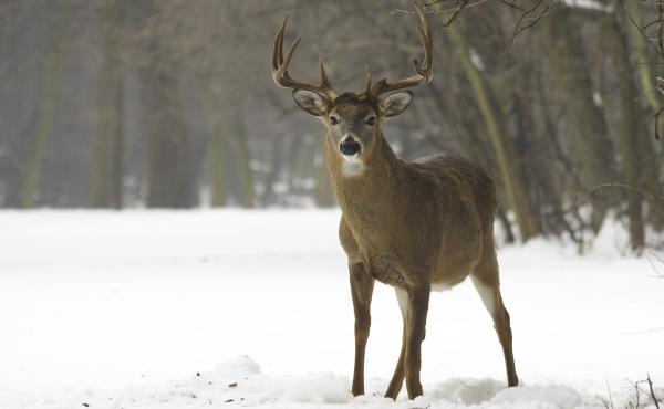 As white-tailed deer have returned to New England in the past century, they've brought with them tick-borne parasites that cause human diseases.