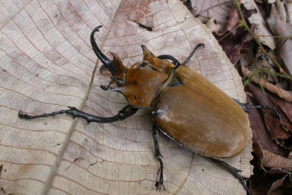 <em>Megasoma elephas</em> (Scarab beetle)