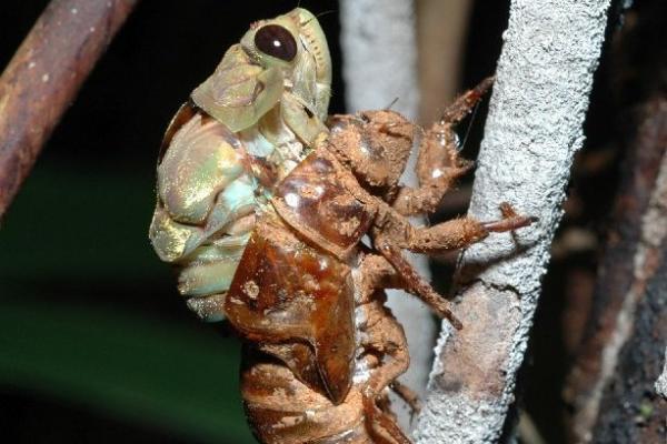 <em>Hemiptera ciccada</em>