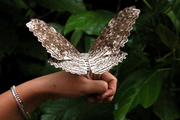 <em>Thysania agrippina</em> (Giant owlet moth)