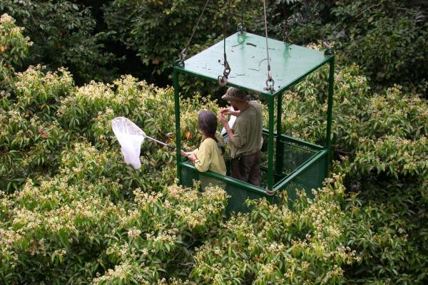 "Here, Dawn Frame and Alexey Tishechkin in the crane's gondola net insects attracted to the flowers of <a href=""http://biogeodb.stri.si.edu/biodiversity/species/26184""><em>Nectandra purpurascens</em></a>."