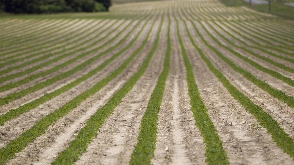 Peanut plants grow on a Halifax, N.C., farm that received federal subsidies in 2011.