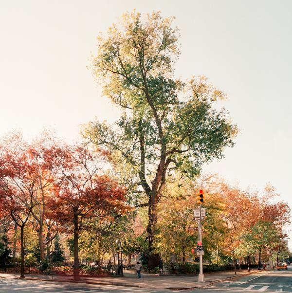 <p>English elm in Washington Square Park, Manhattan, taken on Nov. 18, 2011. The tree had a diameter of 65 inches and an estimated height of 110 feet. The tree was about 220 years old.</p><p></p>