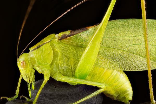 Oblong-winged katydid, Upper Marlboro, Md., July 2012