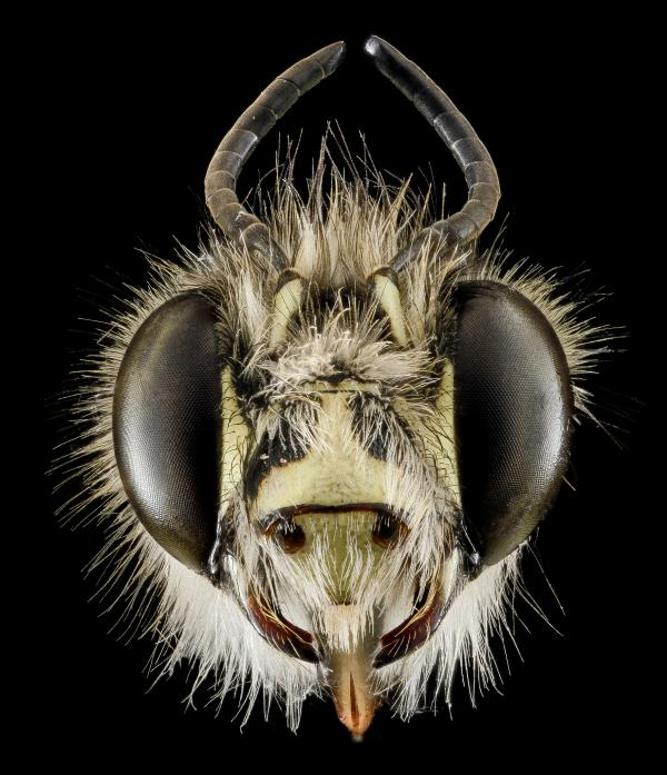 Anthophora plumipes, male