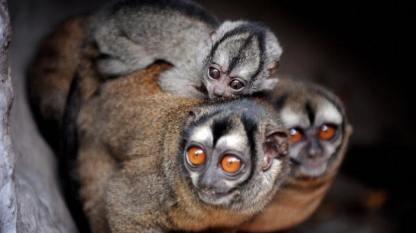 Aotus lemurinus, a type of owl monkey also referred to as the gray-bellied night monkey, seen here at the Santa Fe Zoo, in Medellin, Colombia.
