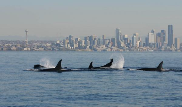 Orcas surface in the waters of Puget Sound against the backdrop of Seattle. Washington's urbanized inland sea remains plagued with pollution and other challenges -- including a declining resident orca population --  according to a new report.