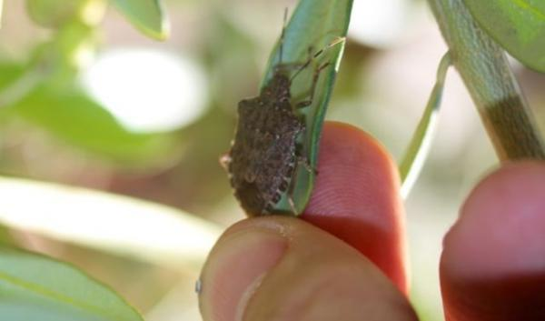 Brown marmorated stink bug on an olive branch in the Willamette Valley. The malodorous invasive bug has gone from a worry to a certifiable nuisance for some Northwest farmers and gardeners.