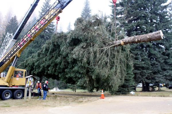 The 2013 Capitol Tree, from the Colville National Forest in northeast Washington, is prepared for loading onto a truck.