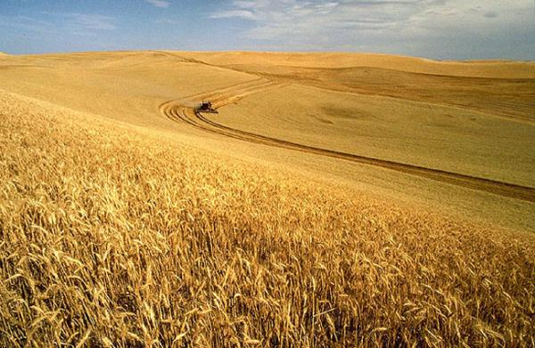 File photo of a wheat harvest on the Palouse.