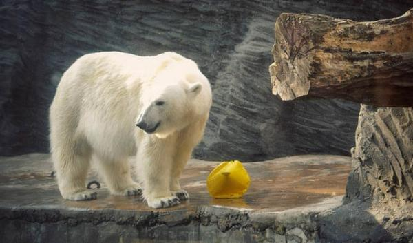 Conservation group Polar Bears International is hoping to bring  awareness to the snow white bears with Polar Bear Week.