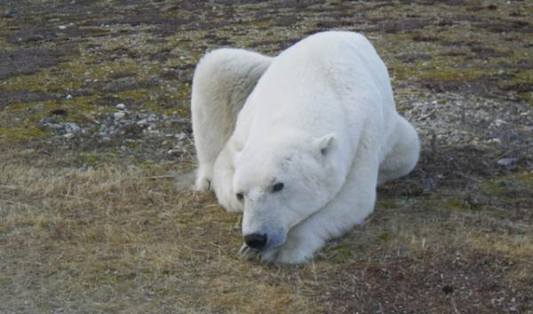 In the U.S. polar bears are listed as threatened under the Endangered Species Act. That's because of the loss (and predicted future loss) of their sea-ice habitat.