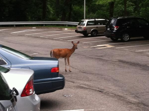 One of the deer <em>Morning Edition</em> Supervising Senior Editor Kitty Eisele sees during her commute home very, very early in the morning.