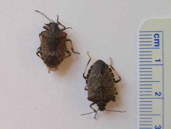 The brown marmorated stink bug is 1-2 centimeters in length.