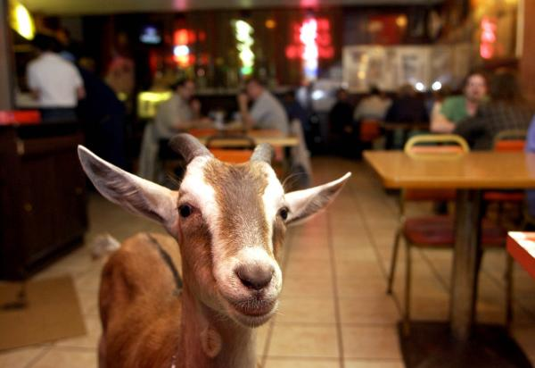 Billy Goat wanders around the Billy Goat Tavern in Chicago in 2003, when the Cubs lost the seven-game National League Championship Series.
