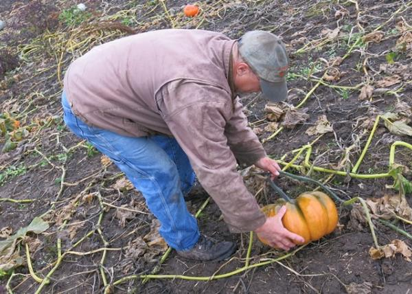 Ackerman checks a Fairy Tale pumpkin after a frosty night wilted vines