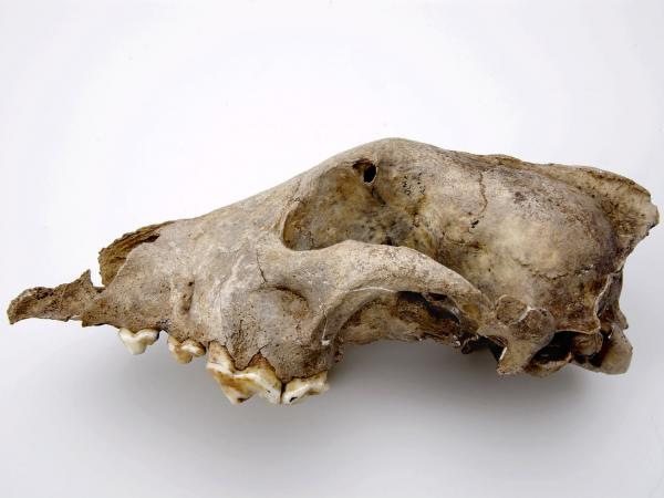 This part of a dog skull found in a cave in Belgium dates back to about 36,000 years ago. Scientists think this species was an ancient sister-group to all modern dogs and wolves, rather than a direct ancestor.