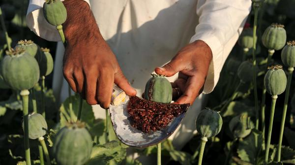 An Afghan farmer collects raw opium as he works in a poppy field in Nangarhar province on April 29. Poppy cultivation reached a record high this year despite Western efforts to reduce it.