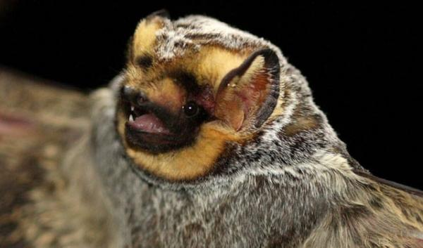 The hoary bat is one of the migrating bat species that flies through the Pacific Northwest. A study has found that more than 600,000 bats may have been killed at U.S. wind farms in 2012.