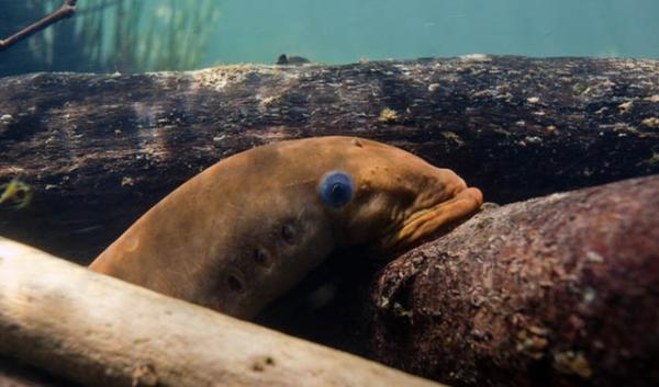 A new documentary hopes to bring awareness to the plight of the Pacific lamprey, a prehistoric fish whose numbers have dramatically declined in recent years.