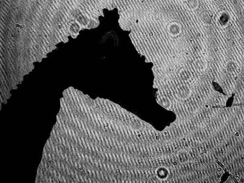 The profile of a killer (a high-speed digital image of dwarf seahorse).