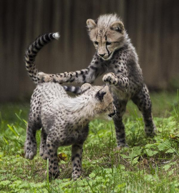 Three-month old cheetah cubs make their public debut at the Smithsonian National Zoo on Tuesday in Washington, DC.