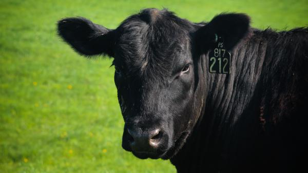 Whenever a steer or cow leaves a farm in Michigan or goes to a slaughterhouse, it passes by a tag reader, and its ID number goes to a central computer that keeps track of every animal's location.
