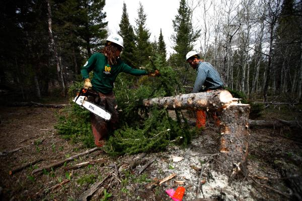 Conservationists are thinning the forest of fir trees to promote the traditional steppe habitat of the area.
