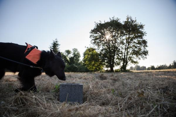 Vesely's Belgian Shepherd, Sharpy, heads toward a cinder block placed in an open field in Albany, Ore. Inside the block is a jar that may or may not contain the scent of a Western Pond Turtle. Some blocks are controls and some actually have scent on them. Sharpy is trained to alert Vesely when she detects a scent.