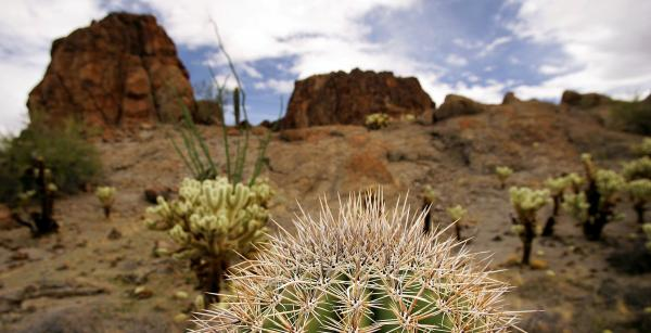 The top of a small saguaro cactus in the Sonoran Desert in Arizona.