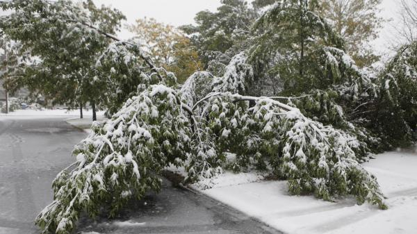 Heavy and wet snow weighs down tree branches on the west side of Rapid City, S.D. Earlier this month, a fierce October snowstorm hit ranchers in the state hard.