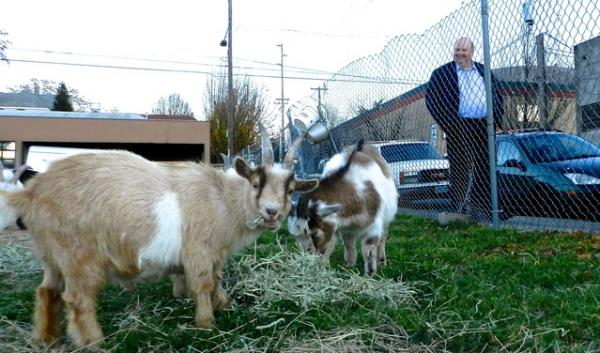 Twelve goats living in Portland's Central Eastside Industrial District will have to move out so a developer can break ground on a new apartment building.