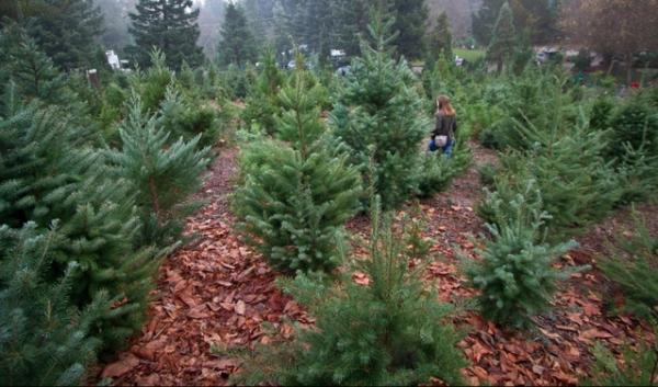 Root rot is one of many pathogens that can affect fir trees grown on Christmas tree farms.