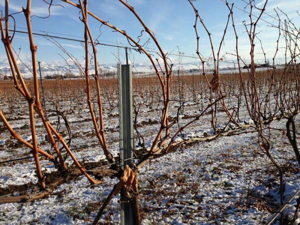 Snow partially covers the groud at Pepper Bridge vineyard nearr Walla Walla, Wash.