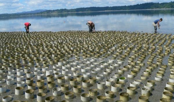 A geoduck farm near Puget Sound's Totten Inlet between Shelton and Olympia.