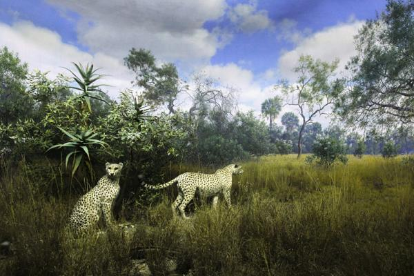 Cheetahs, a collaborative painting by Fred F. Scherer and James Perry Wilson, housed at the American Museum of Natural History.
