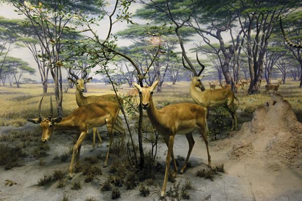 The African Impala diorama